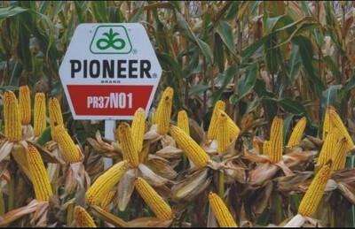 PIONEER PR37N01 LUMIGEN STANDARD 25MK